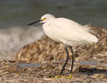 Snowy Egret Searching for Food - Sanibel Island, Florida